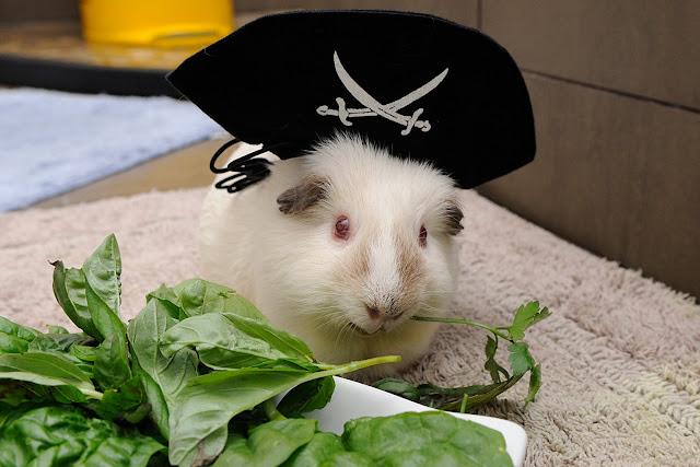 cavy salad