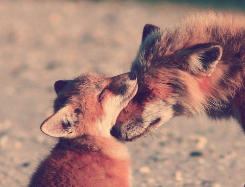 raposas amando