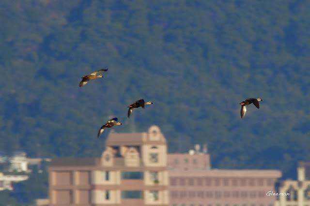 許多花嘴鴨在溼地上空飛行 關渡自然公園