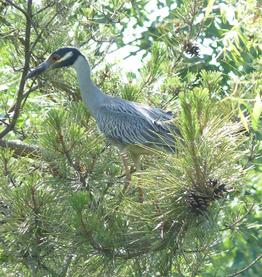 yellow-crowned night heron in pine