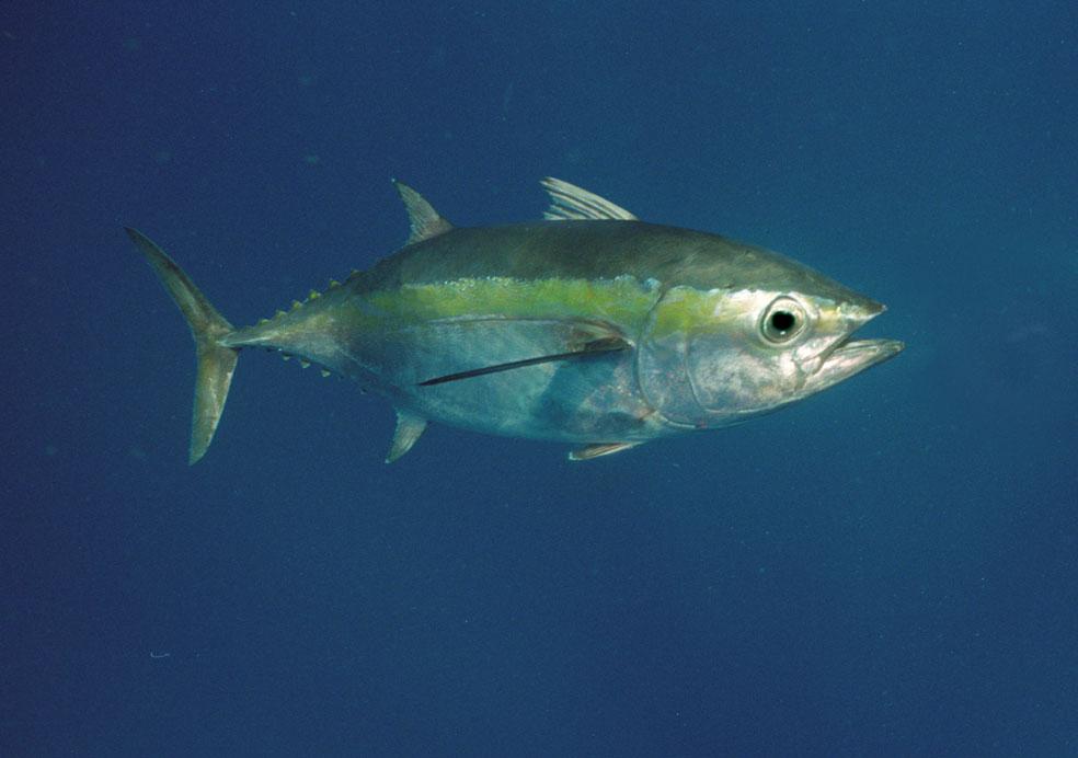 Preferência A Arte da Pesca: Peixes de Água Salgada - Atum GJ05