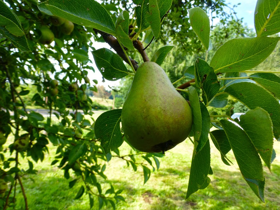 how to eat a bosc pear