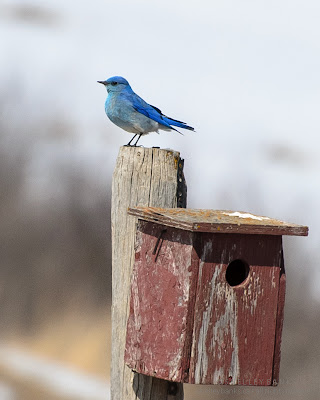 Mountain Bluebird on nestbox  Photo © Shelley Banks, all rights reserved.