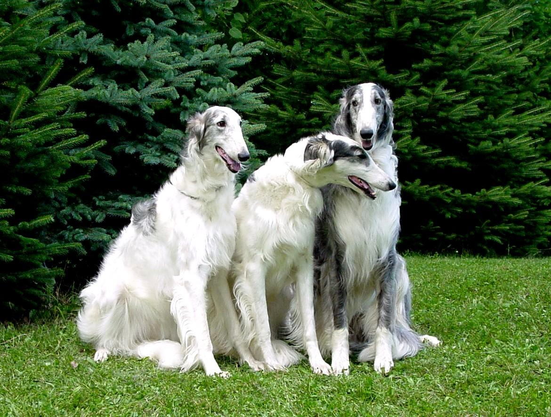 Big Russian Dog