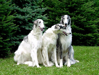 Borzoi Dog Wallpapers