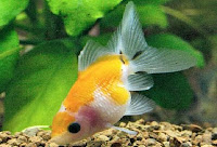 Pearlscale Goldfish in Yellow Coloration