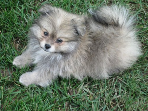 Pomeranian+mixed+with+maltese