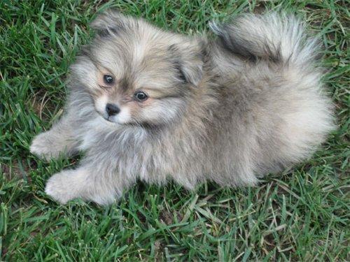 Miniature Husky Pomeranian Mix Puppies