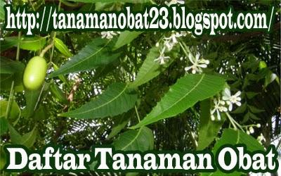 Tanaman Obat Mimba  (Azadirachta indica A. Juss.)