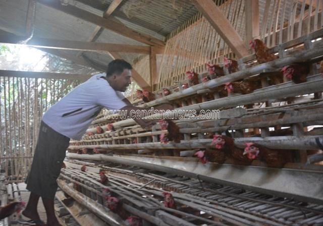 Berawal Dari Hobi Abidin Tekuni Budidaya Ayam Petelur Cendana News