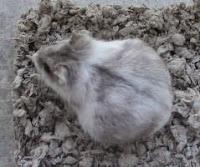 ciri hamster hamil