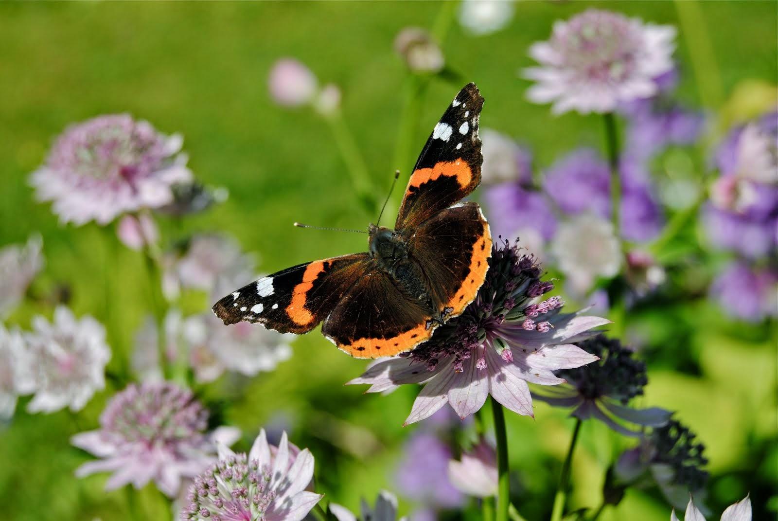 Om hur du kan locka fjärilar till trädgården