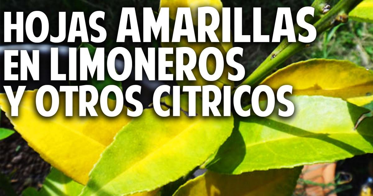 Hojas amarillas en las plantas limoneros y naranjos for Enfermedades citricos fotos