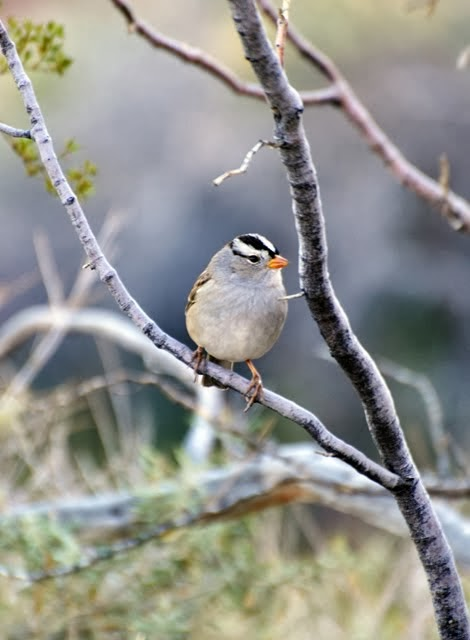 White-crowned Sparrow 3601