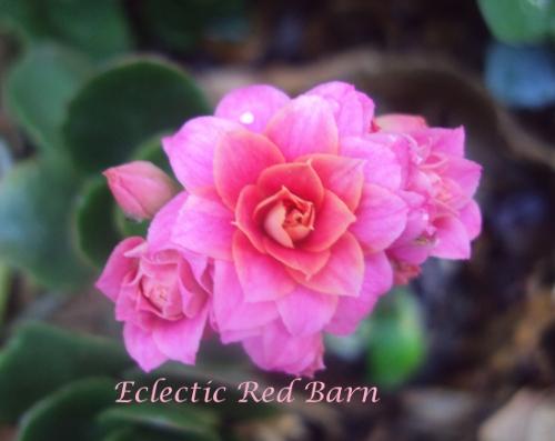 Rose Kalanchoes