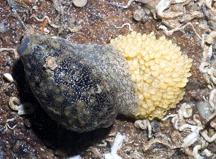 Hermit crab eggs hatching