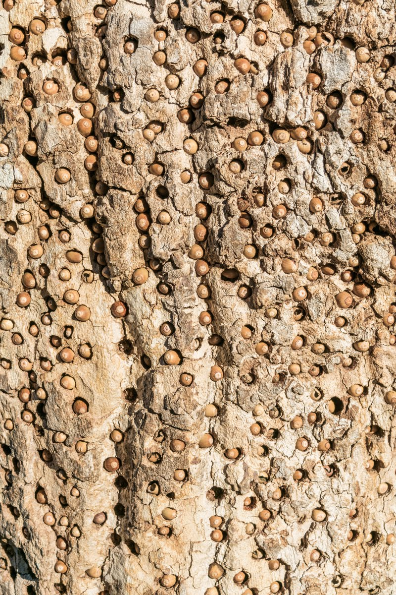 Bellotas almacenadas en la corteza de un árbol