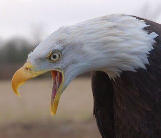 bald eagle with dramatic open mouth