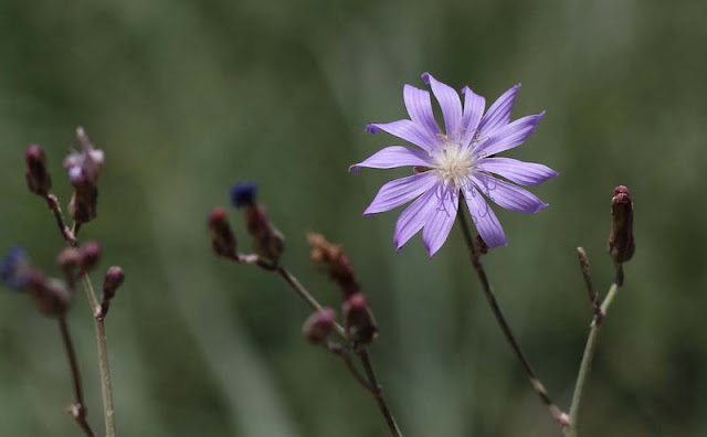 Blue Lettuce Flowers Pictures