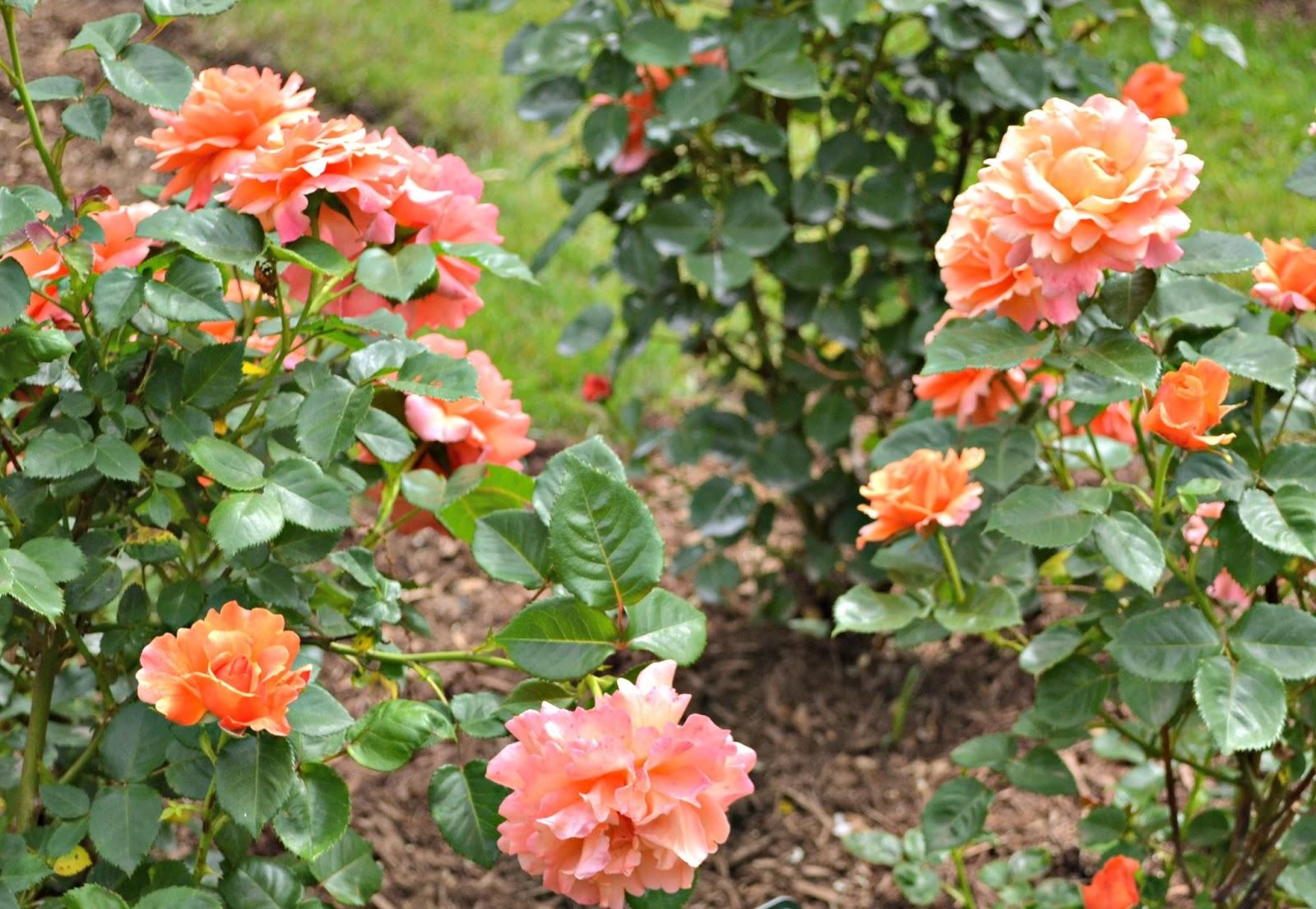 You 39 ll thank me one day summer bucket list visit a rose garden - Rose cultivars garden ...