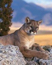 Puma životinje download besplatne slike pozadine za mobitele
