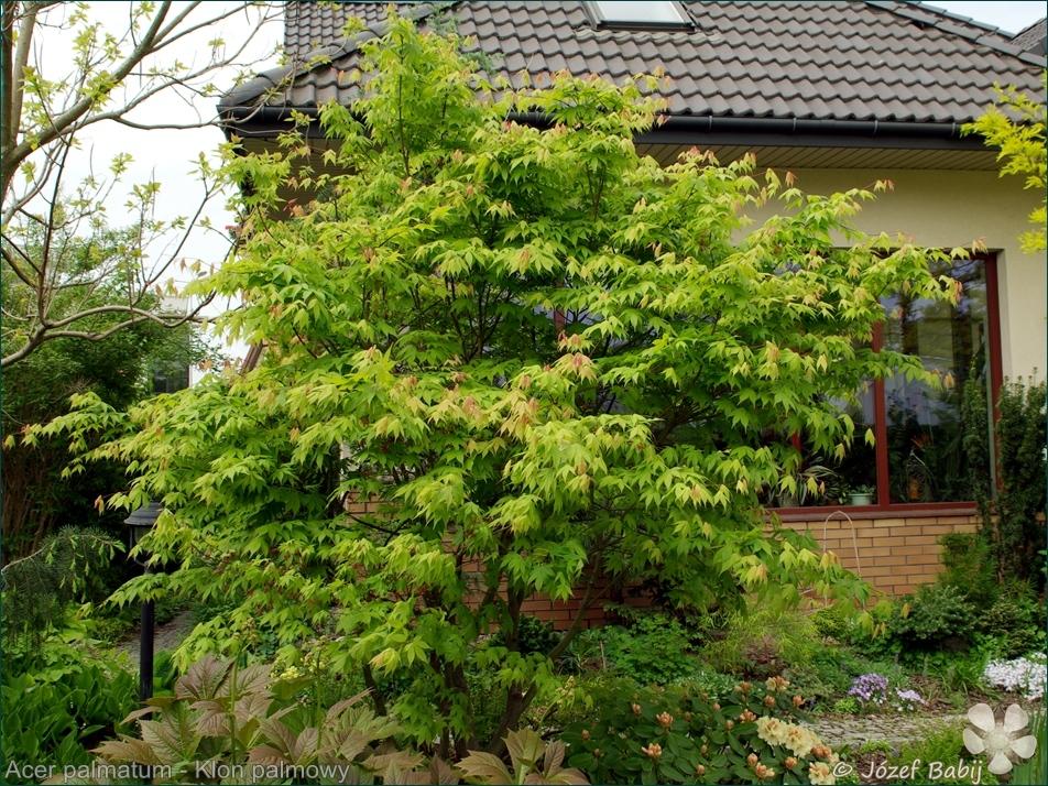 Acer palmatum - Klon palmowy