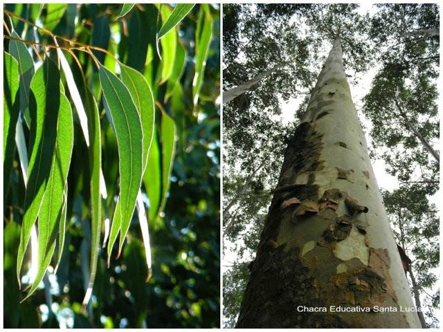 Eucalipto o eucaliptus, hojas y tronco - Chacra Educativa Santa Lucía
