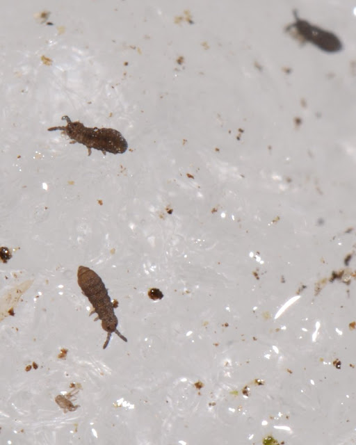 springtails on ice in winter