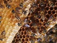 Manfaat Madu lebah