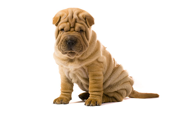 Cute wrinkly face dog