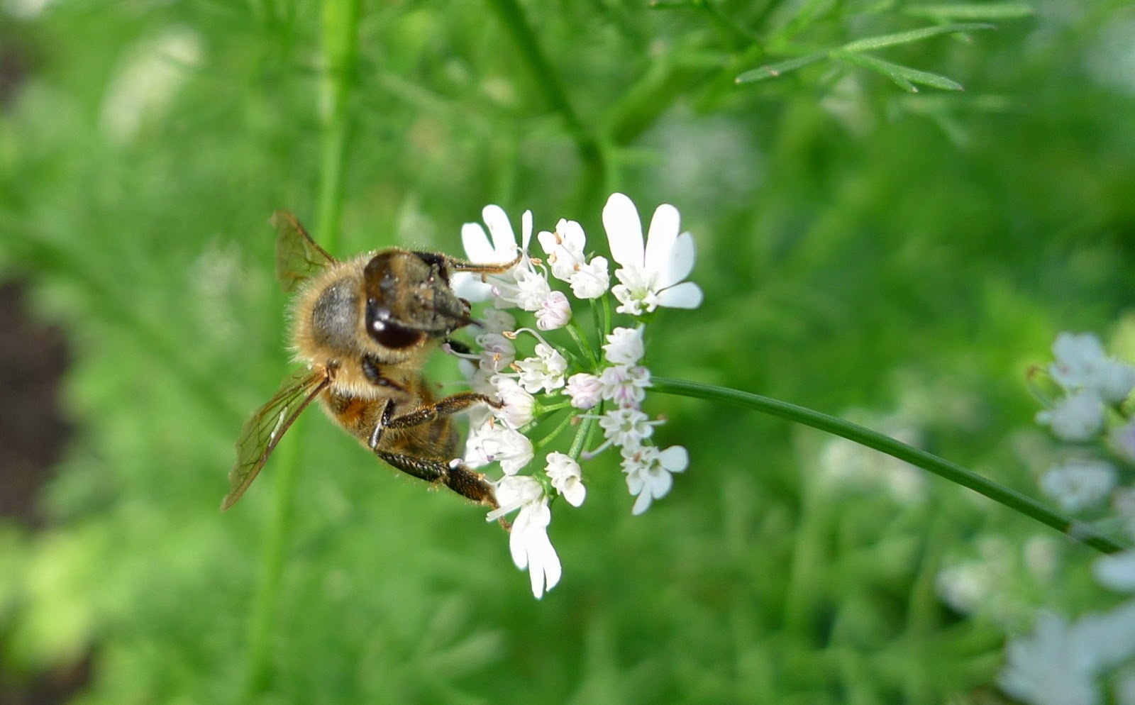 Honey Bee on Cilantro Flower, pollinator, Urban Farming