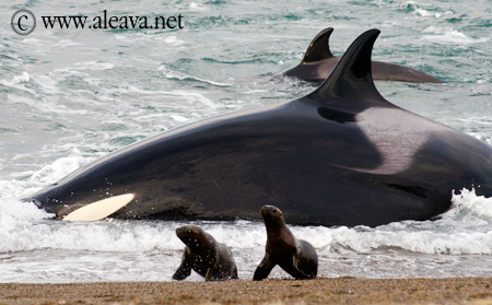 Schwertwale Orcas Punta Norte