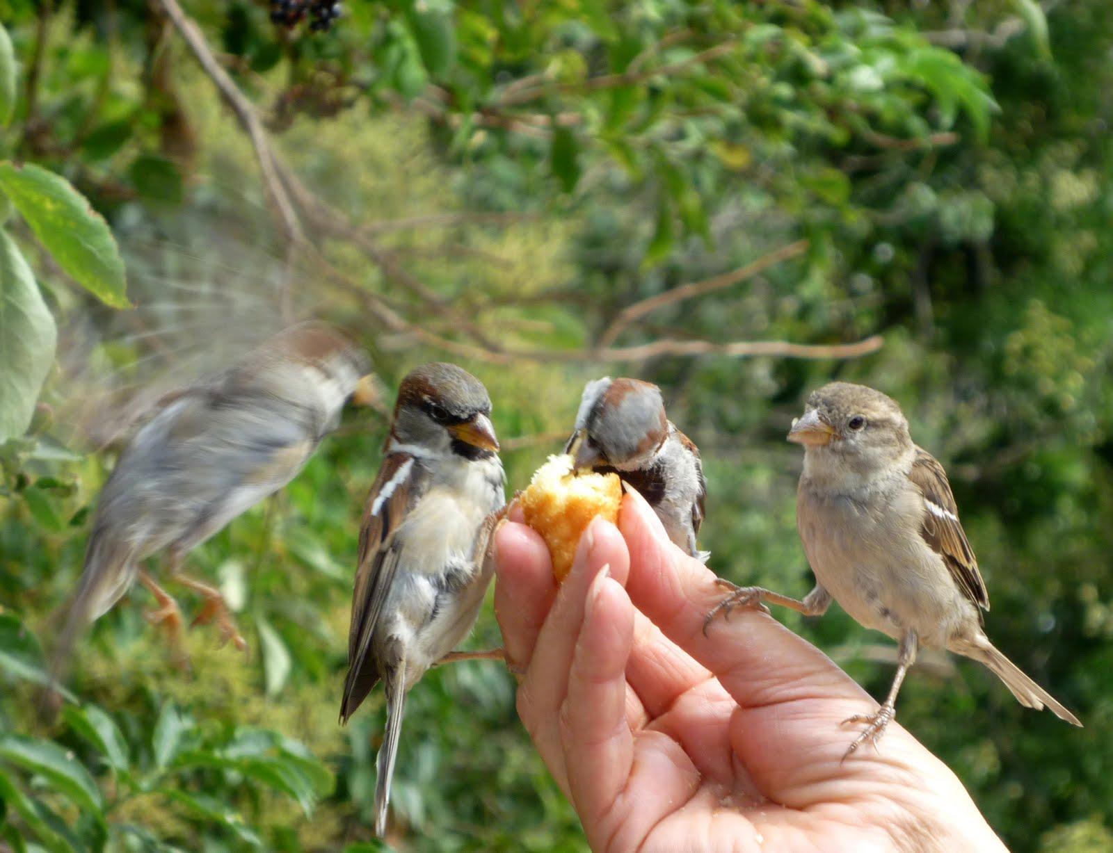 Les oiseaux du 27 les moineaux domestiques passer domesticus - Comment effrayer les moineaux ...