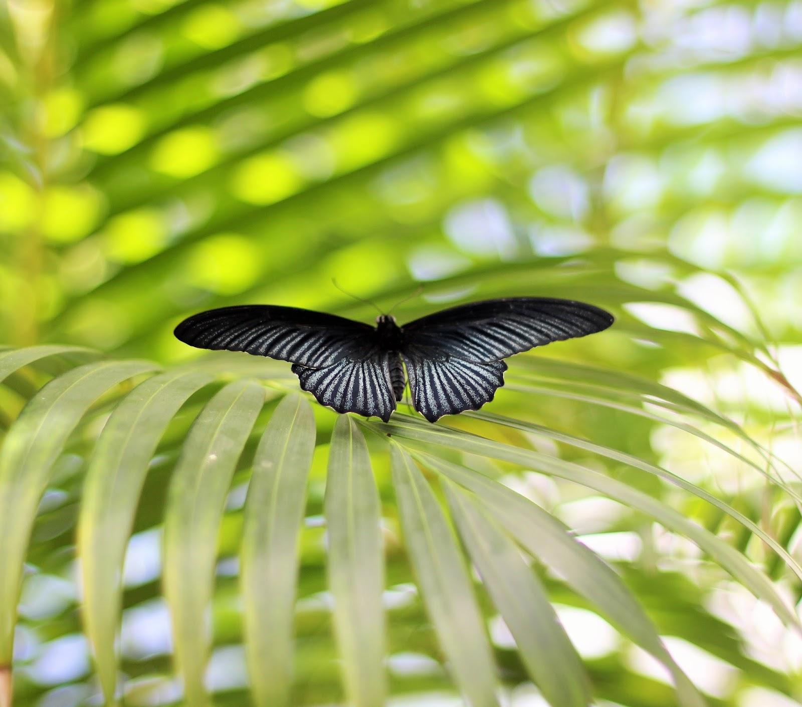 Photo of a black butterfly at the Butterfly Farm in Marigot, Sint Maarten