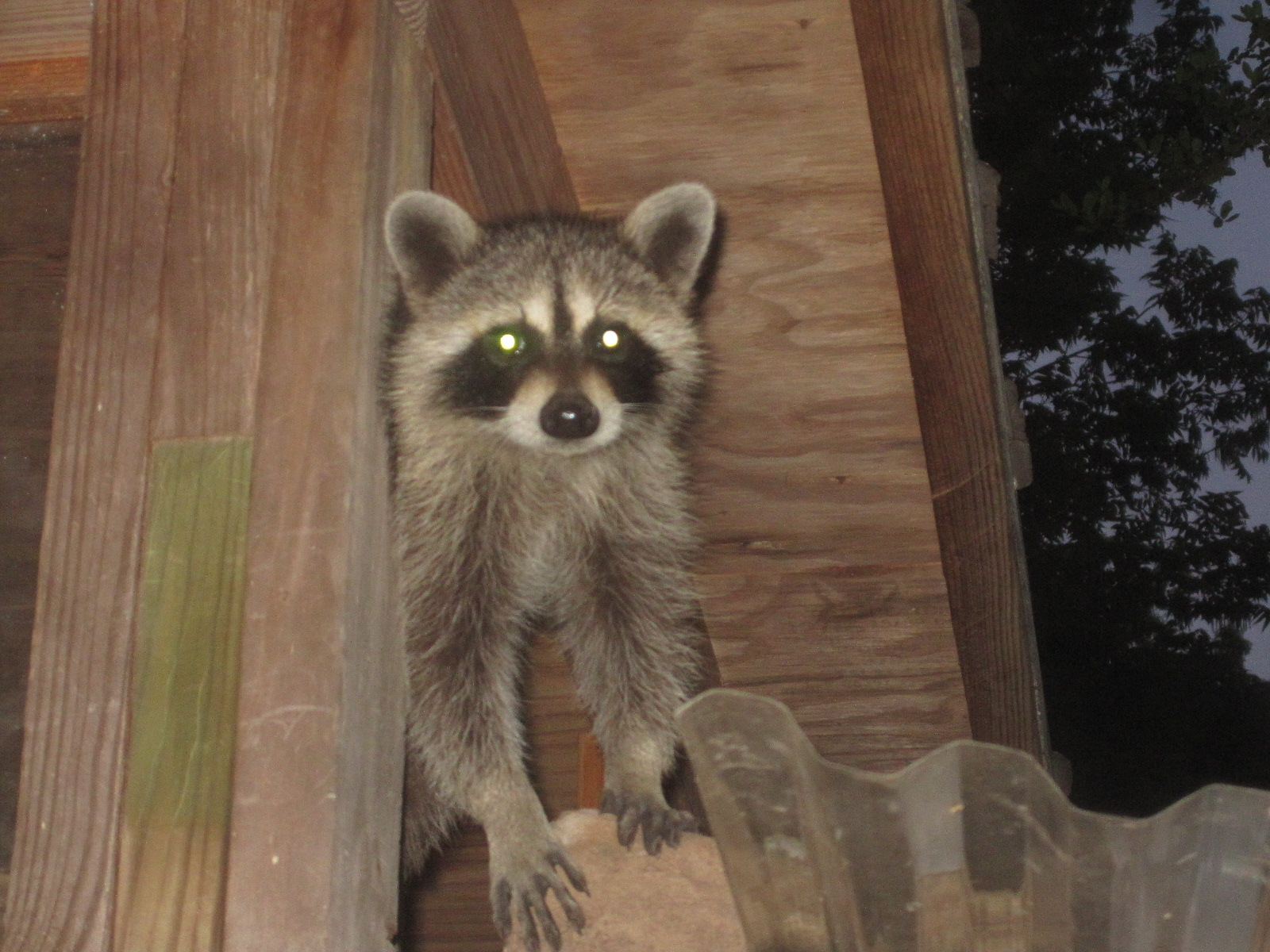 Tropical Texana: BABY RACCOONS\' FIRST NIGHT OUT
