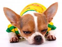 tiny dog sleeping with one eye open