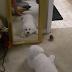 Σκύλος εναντίον... καθρέπτη (vid)