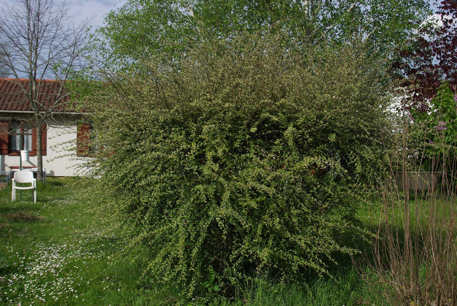 Promenade au jardin de lili dans le poitou cotoneaster for Jardin arbuste