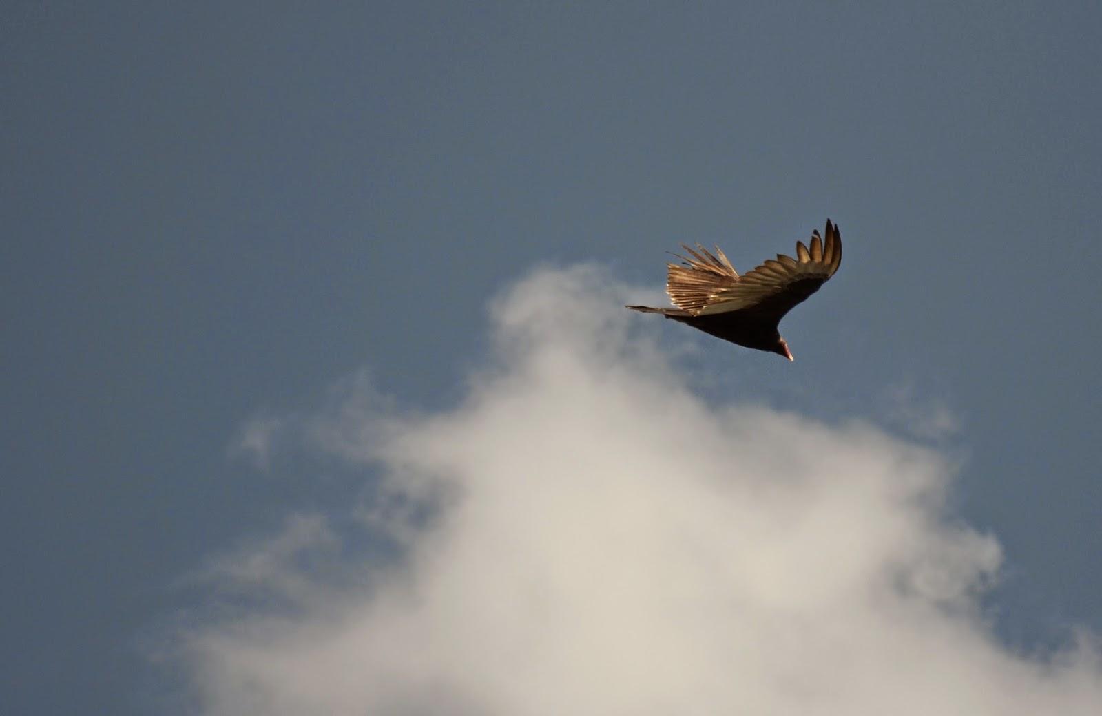 turkey vulture   note the familiar dihedral wing pattern  a shallow v shape  baugh u0027s blog  photo essay  birds of cozumel mexico  rh   clive w blogspot