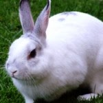 Know Signs of Rabbit Pregnancy - Tips to Maintain Rabbit