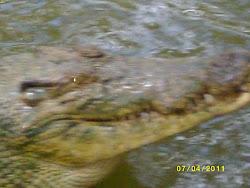 A Croc 'o' Dial