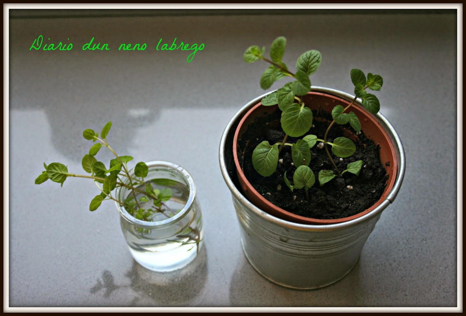 Albahaca una arom tica de f cil cultivo for Cultivo de albahaca en interior