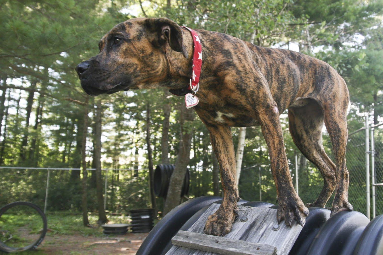 Anatolian Shepherd Mix Box-pit bull terrier mix.