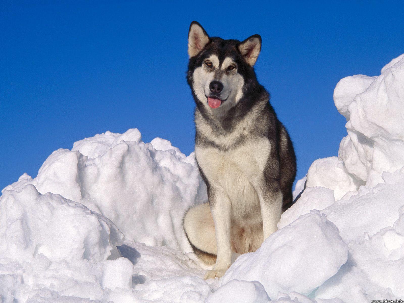 Dog Photo Alaskan Malamute Dog Pictures