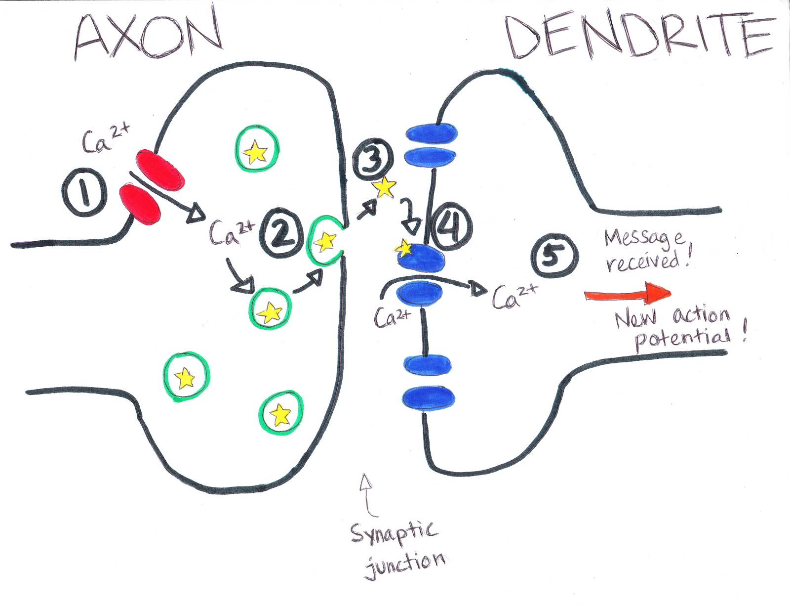 neuron and chemical synapse Action potentials and synapses home the brain  an action potential causes neuron a to release a chemical  synapse – the junction between the axon of.
