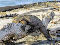Resting Iguana, Urbina Bay, Fernandina
