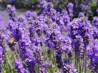Bukit Lavender hal Unik Citra Indah