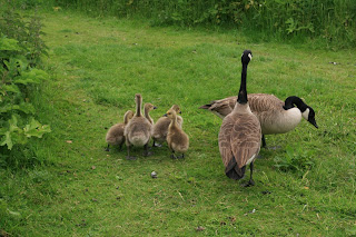 Canada Geese with goslings (Branta candensis)