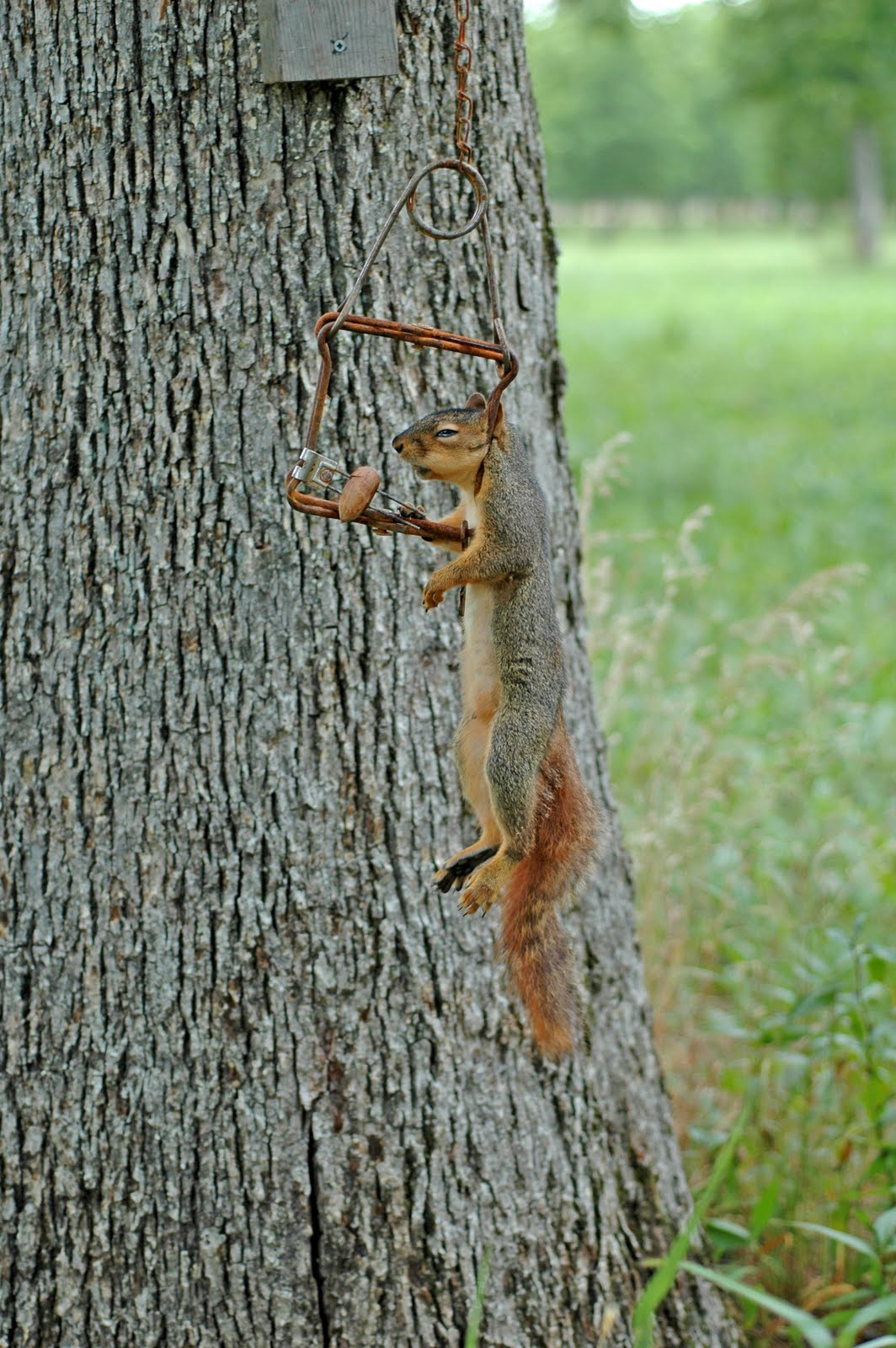 Northern Pecans: Setting squirrel traps