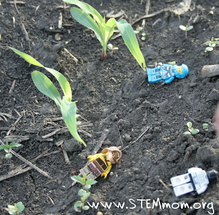 Black soil with 1-week old corn spouts with 3 lego guys scattered around
